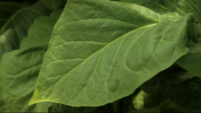 sequence tobacco leaves - tobacco crop stock videos & royalty-free footage
