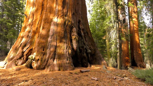 sequoia giant tree - giant sequoia stock videos and b-roll footage