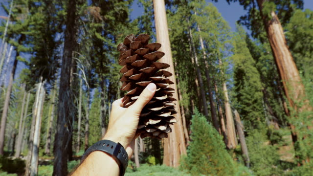 sequoia national park, california - pinecone stock videos & royalty-free footage