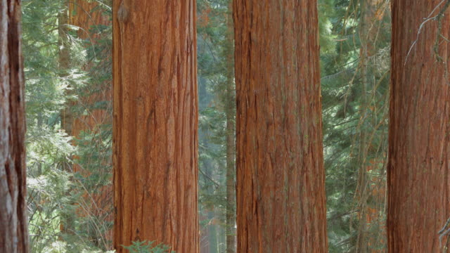 sequoia national park, california - giant sequoia stock videos and b-roll footage