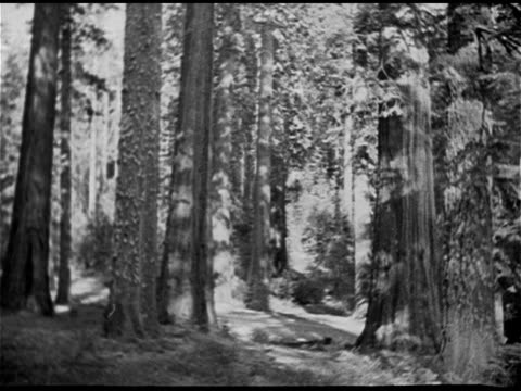 sequoia national park ha ws car driving tree lined road ws person walking toward giant tree ws behind car driving road through section of cut out of... - セコイア点の映像素材/bロール