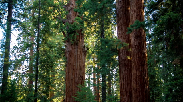 sequoia national park - giant sequoia stock videos and b-roll footage