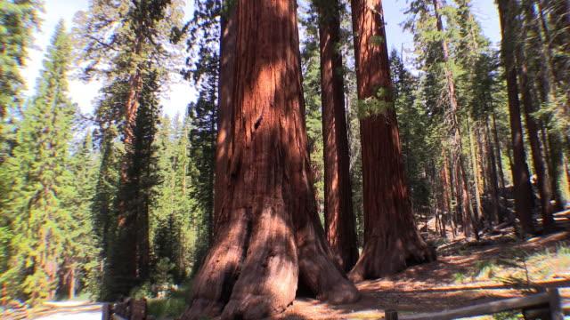 vidéos et rushes de sequoia tree, pan up from base, yosemite national park, california - séquoia géant