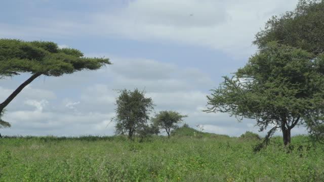 serengeti landscape pan to acacia tree - wiese stock videos & royalty-free footage