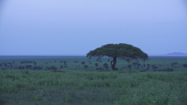 serengeti landscape with acacia tree - wiese stock videos & royalty-free footage