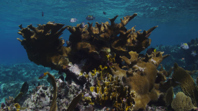 sergeant major fish and coral on reef, bahamas - bimini stock videos & royalty-free footage