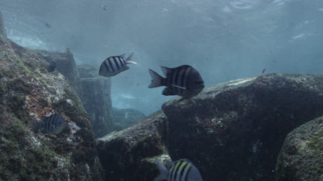 sergeant major fish swim in current, brazil - sergeant stock videos & royalty-free footage