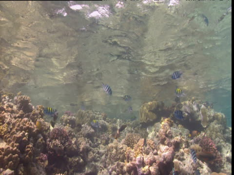 Sergeant Major fish swim over coral reef