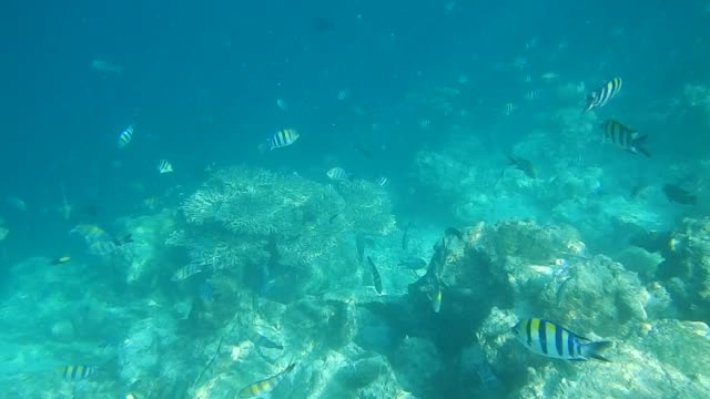 Sergeant Major Fish Swimming On Bleached Coral Reef