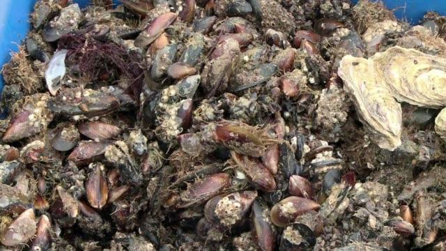 vídeos y material grabado en eventos de stock de sergei kulik es el unico productor de ostras de crimea y la anexion de la península por rusia ha abierto nuevos mercados - península