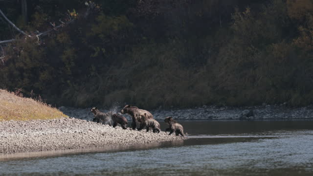 ws (series of 10) 4k  shot of famous grizzly bear #399 and her 4 coy/cubs (ursus arctos) as they swim/play/fight across the snake river - グランドティトン国立公園点の映像素材/bロール