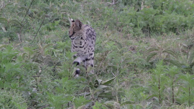 serval cat on the watch