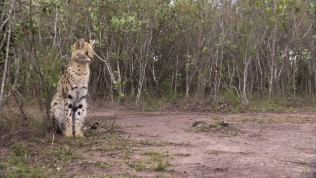 A serval cat sits on the edge of a clearing in South Africa.
