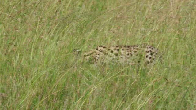 Serval Cat Walking, Maasai Mara, Kenya, Africa
