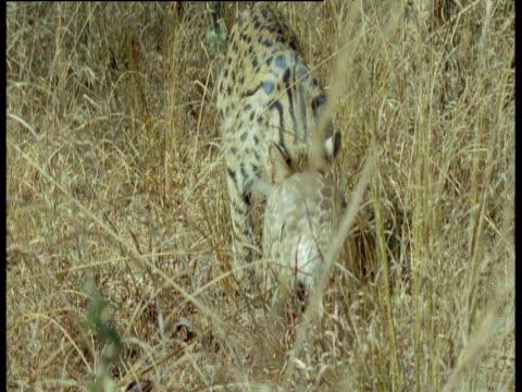 serval follows temminck's pangolin, africa - pangolino video stock e b–roll