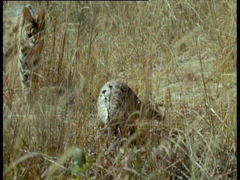 Serval follows Temminck's Pangolin, Africa