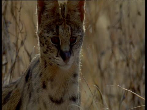 Serval head as it bites grass, licks lips then sprints towards camera, Africa