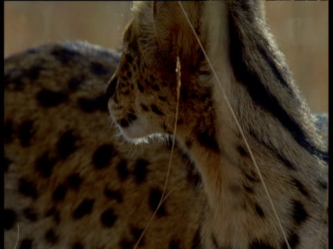 Serval head as it looks around, Africa