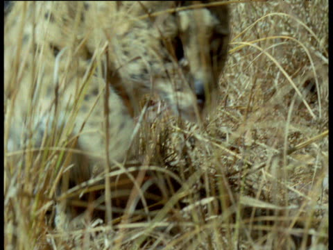 Serval in long grass, Africa