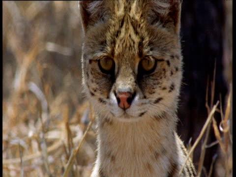 Serval looks about on savanna