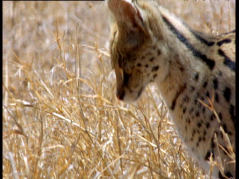 Serval looks and listens intently for prey on savanna