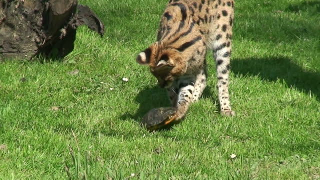 Serval playing with turtle
