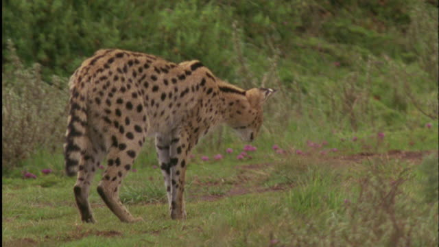 serval pounces on rodent, aberdare national park, kenya available in hd. - genauigkeit stock-videos und b-roll-filmmaterial