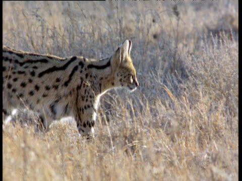 Serval prowls on savanna