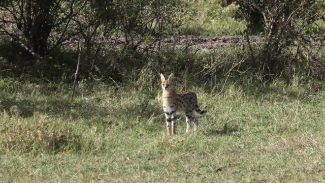 MS Serval standing in savanna / National Park, Africa, Kenya