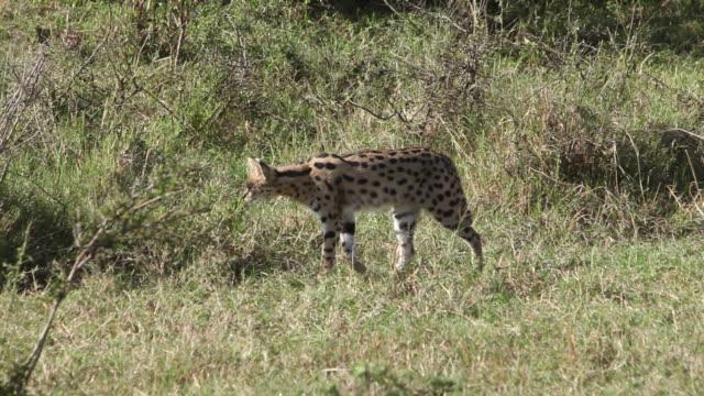 MS TS Serval walking in savanna / National Park, Africa, Kenya