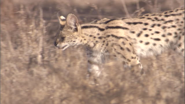 Serval walks through long grass. Available in HD.