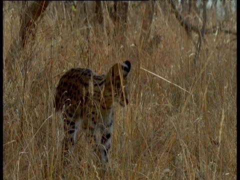 Serval walks through long grass then runs out of shot, Africa
