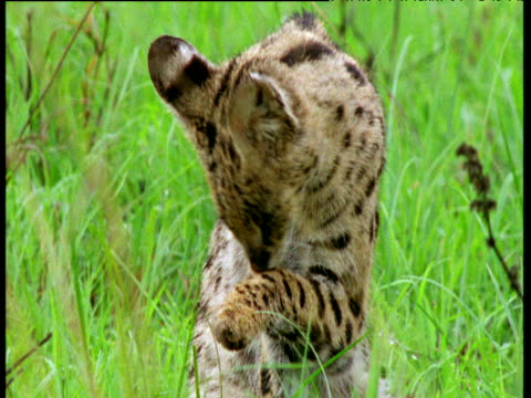 Serval yawns and licks paw on savanna