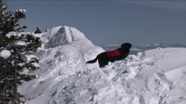 a service dog runs up and down snowy slopes. - trained dog stock videos & royalty-free footage
