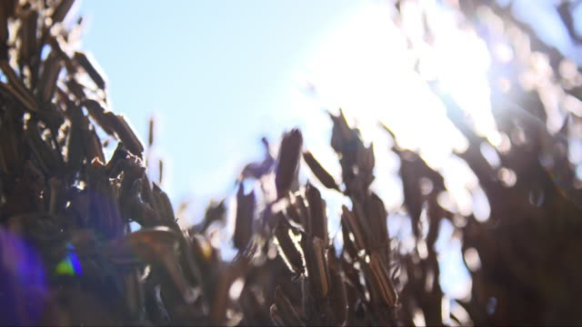 sesame in the sun - sunbeam stock videos & royalty-free footage