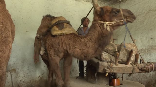 vídeos y material grabado en eventos de stock de sesame oil producers in northern afghanistan harness the power of camels to produce their sought after product - sesame