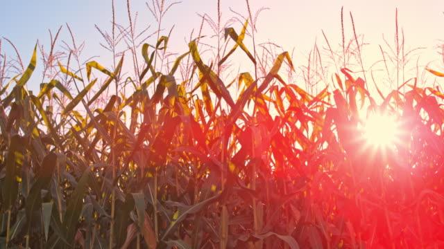 SLO MO DS Setting sun shining through a corn field