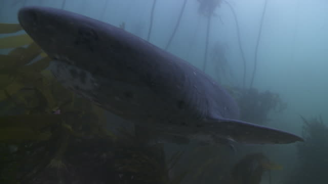 seven gill shark in kelp forest to camera - gill stock videos and b-roll footage