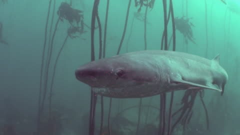 vídeos y material grabado en eventos de stock de seven gill shark swimming straight at the camera with a good view of the eye as it swims through the kelp forests of false bay, south africa. - kelp