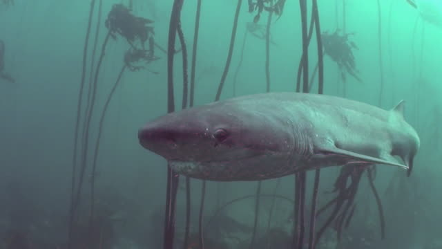 vídeos y material grabado en eventos de stock de seven gill shark swimming straight at the camera with a good view of the eye as it swims through the kelp forests of false bay, south africa. - quelpo