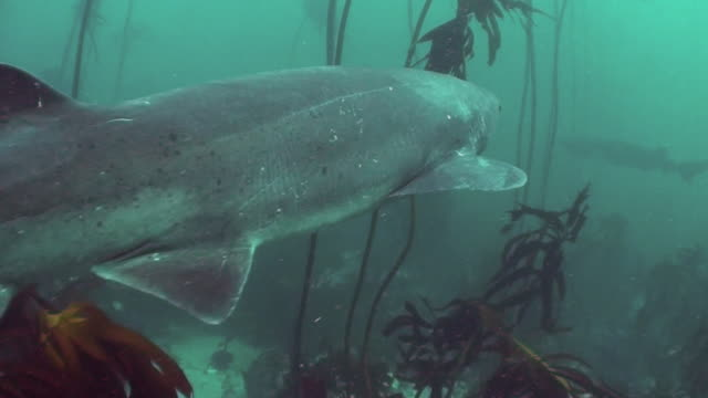 seven gill shark swimming through the kelp forests of false bay, south africa. - gill stock videos and b-roll footage