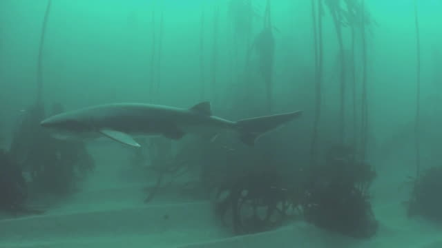 seven gill sharks and kelp forest - gill stock videos and b-roll footage