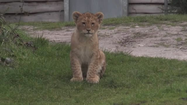 seven new lion cubs born at west midland safari park enjoy their first foray outdoors before being introduced to the public next month. - young animal stock-videos und b-roll-filmmaterial