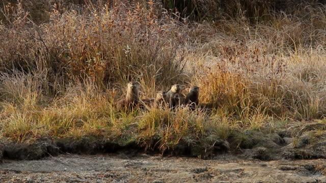 vídeos y material grabado en eventos de stock de ws ms seven north american river otters (lontra canadensis) standing on the river bank watching a hawk as it flies overhead - nutria de río