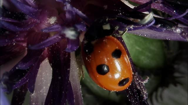 vídeos y material grabado en eventos de stock de seven spot ladybird (coccinella septempunctata) on thistle flower, england - mariquita