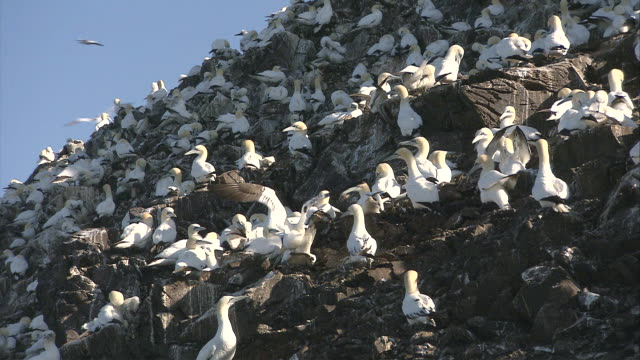 ms cu several adult and adolescent gannets gathered on the rocky face of a cliff / bass rock, firth of forth, scotland - scotland stock videos & royalty-free footage