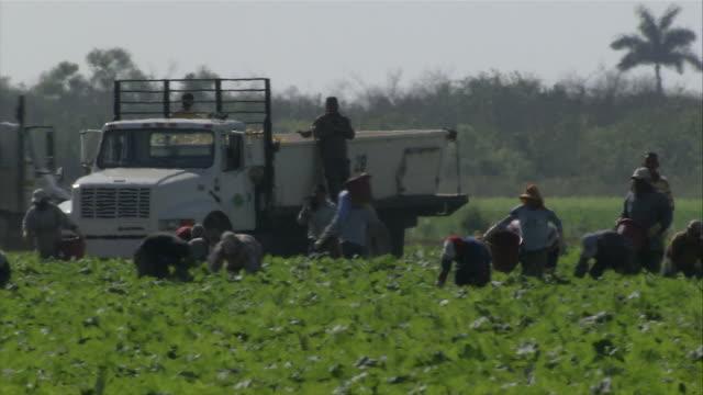 ms pan several agricultural workers gathering harvest / florida, usa - böja sig bildbanksvideor och videomaterial från bakom kulisserna