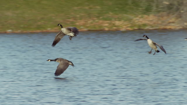Several Canadian Geese glide over water and land in a blue pond.