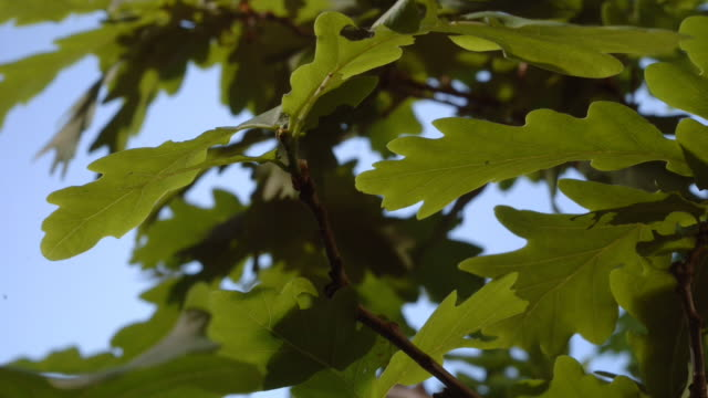 Several caterpillars crawl over branches and eat oak leaves. Available in HD.