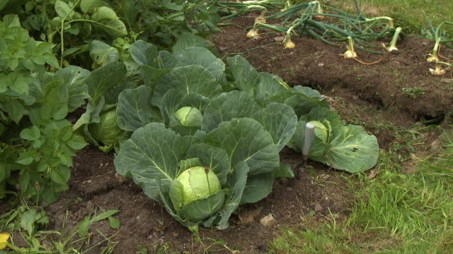 several cauliflower plants in a garden plot - cauliflower stock videos & royalty-free footage